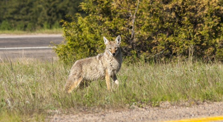 Coyote crossing urban road