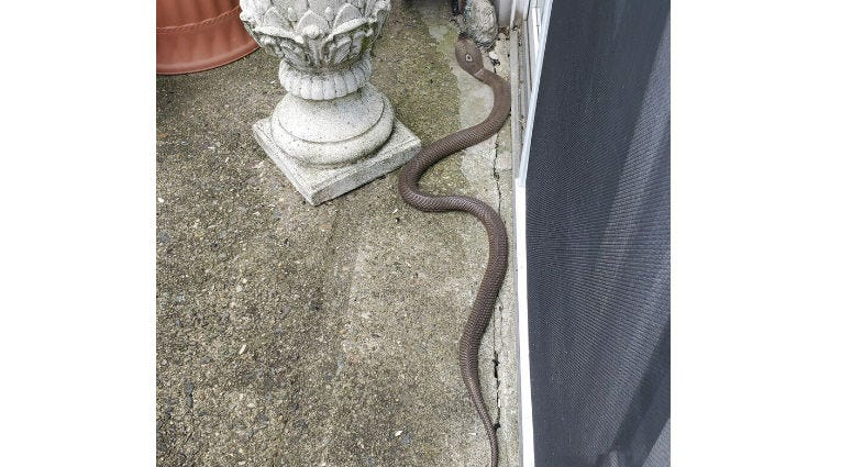In this Monday, June 24, 2019 photo provided by Kathy Kehoe, a 4 to 5-foot-long snake slithers on the patio of her apartment in Fairless Hills, Pa. Kehoe used a shovel to kill the cobra.