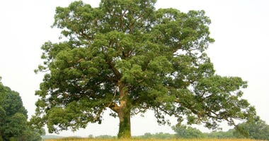 An oak tree.