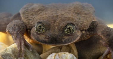Romeo, the world's loneliest frog