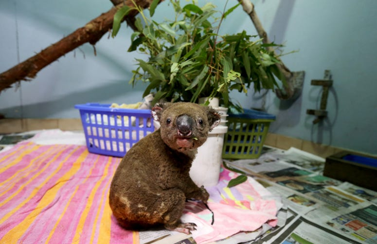Koala suffers severe burns from wildfires
