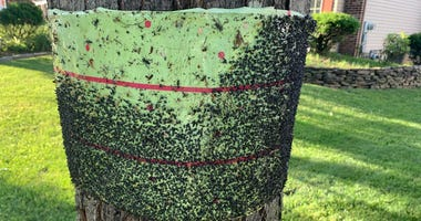 A spotted lanternfly tape trap.