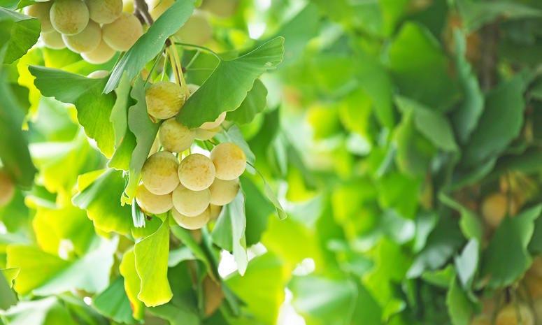 Ginkgo nut