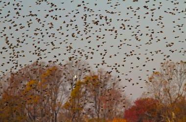A huge flock of red-winged blackbirds take flight.