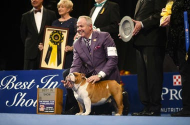 """A Bulldog named """"Thor"""" poses for a photo after he wins """"Best in Show"""" at the Greater Philadelphia Expo Center."""