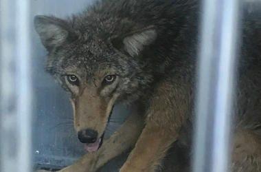 Philadelphia coyote caught