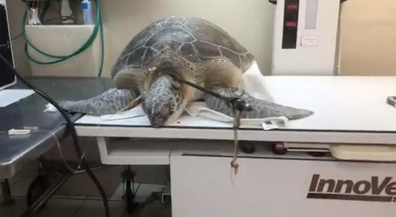 A green sea turtle was found with a 3-foot-long spear in its neck and rescued, according to nonprofit Turtle Hospital in Marathon, Florida.