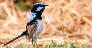 This photo provided by Jessica McLachlan shows a fairy-wren. Scientists have discovered that birds can learn to recognize alarm calls of other species, essentially by learning to eavesdrop in a second language.