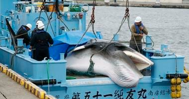 A whale is unloaded at a port in Kushiro, in the northernmost main island of Hokkaido, Monday, July 1, 2019.