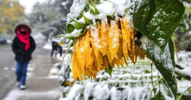 Sunflowers bow and break under the falling wet snow in Great Falls, Mont.