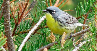 Kirtland's warbler, an endangered songbird that lives in the jack pine forests of northern Michigan