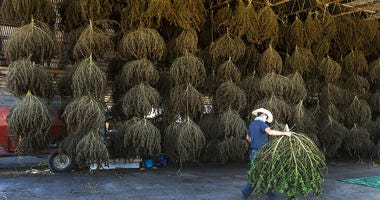 Workers at MERJ farms unload hemp plants during the first harvest at the Sullivan County farm, in Bristol, Tenn.