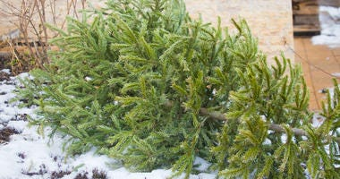 Christmas tree ready for disposal...or recycling.
