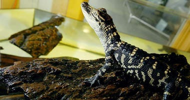 A small alligator is seen at the San Francisco Zoo June 13, 2003 in San Francisco.