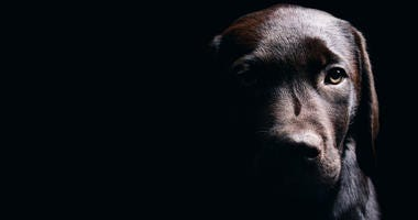 Low-key shot of chocolate labrador puppy