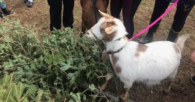 Philly Goat Project volunteers brought goats to the Awbury Arboretum in a Christmas tree recycling effort, feeding the trees to the goats.