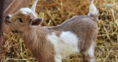 Zoo New England in Boston made good on a Super Bowl bet with the Philadelphia Zoo, in which the zoos agreed to name their next newborn goat after the opposing team's quarterback, depending on which team won the championship.