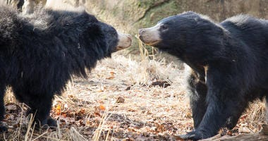 Sloth bears at the Philadelphia Zoo