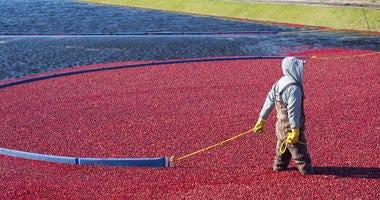 Man harvesting cranberries in the field.