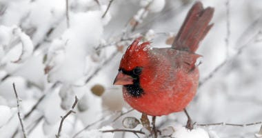 A cardinal perches on snow-covered twigs in Lawrence, Kan., Sunday, Nov. 25, 2018. A snowstorm had the area in a blizzard warning for several hours.