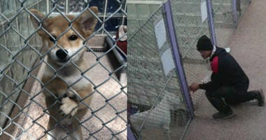 A shiba inu puppy was stolen from the Pennsylvania SPCA shelter Friday. The thief was caught on video.