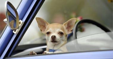 A Chihuahua dog