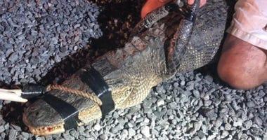 Alligator taken into custody