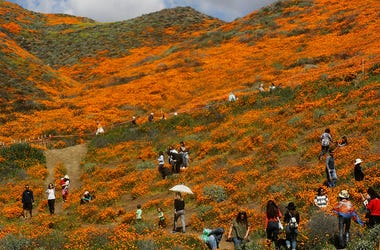 LAKE ELSINORE, CALIFORNIA - MARCH 12: People visit a 'super bloom' of wild poppies blanketing the hills of Walker Canyon on March 12, 2019 near Lake Elsinore, California. Heavier than normal winter rains in California have caused a 'super bloom' of wildfl