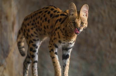 africanserval