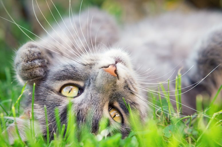 Cat In Grass Steevy84 GettyImages