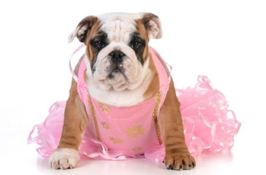 Bulldog in Tutu