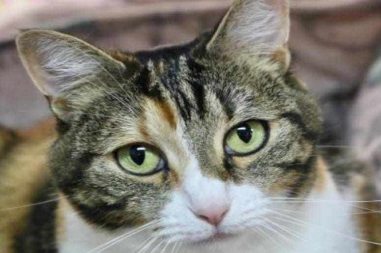 Callie @ Austin Humane Society October 2020