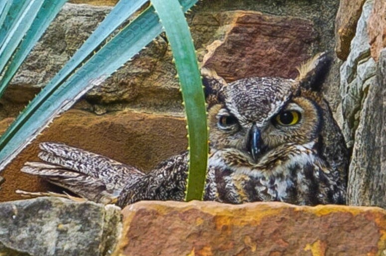 Great Horned Owl Lady Bird Johnson Wildflower Center / Getty Image - Jacqueline Cooper