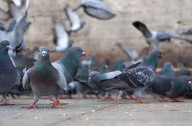 Pigeons mkirarsian Getty Images