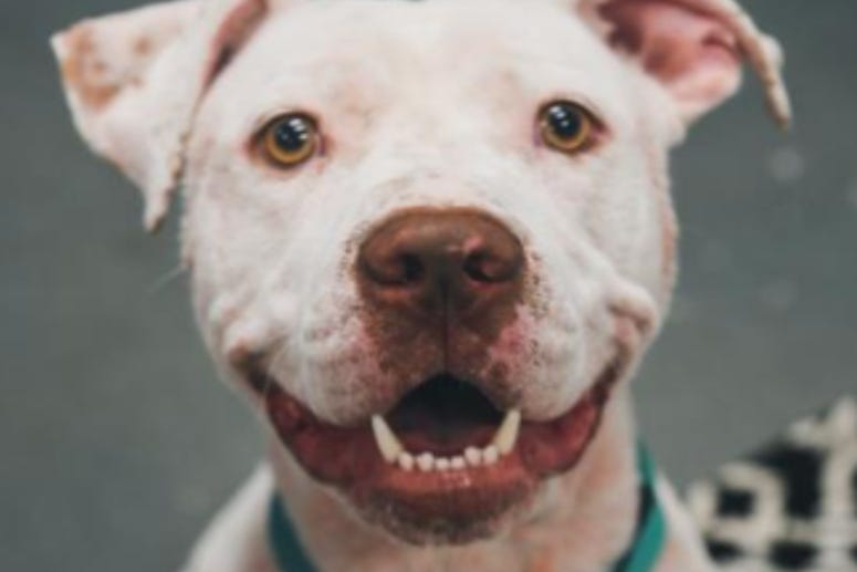 Pinky @ Austin Humane Society June 2020