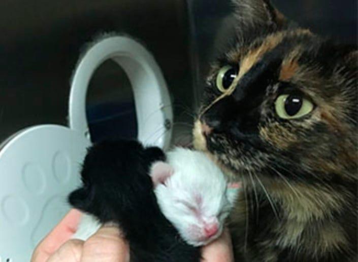 kitten-season-collage 775 x517 Kitten with baby AHS