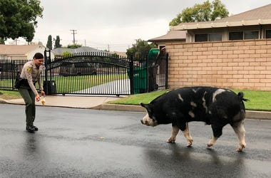 Watch Pig On The Run Follow Police Home (Photo credit: San Bernardino County Sheriff's Department)