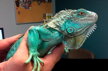 This photo provided by Painesville police shows an officer holding an iguana at the police station on Tuesday, April 16, 2019 in Painesville, Ohio. (Painesville Police Department via AP)