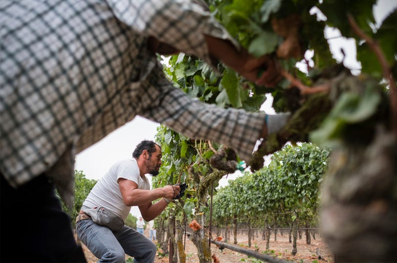 "In this Aug. 23, 2017, courtesy of Quiet Pictures, Rene Reyes Ornelas, a 41 year-old Mexican farmworker, works picking grapes during his second harvest in Sonoma, California. (Roberto ""Bear"" Guerra/Quiet Pictures via AP)"