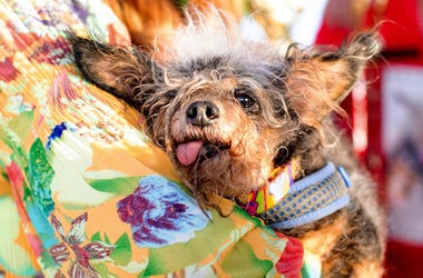 Scamp the Tramp rests after winning the World's Ugliest Dog Contest at the Sonoma-Marin Fair in Petaluma, Calif., Friday, June 21, 2019. (AP Photo/Noah Berger)