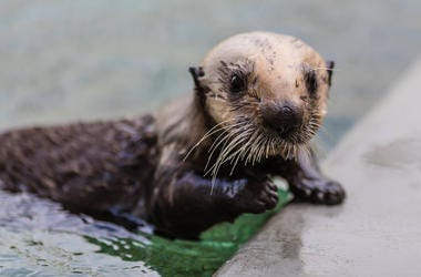 A baby sea otter, whose mother died in a shark attack, is recovering nicely, according to the Marine Mammal Center.