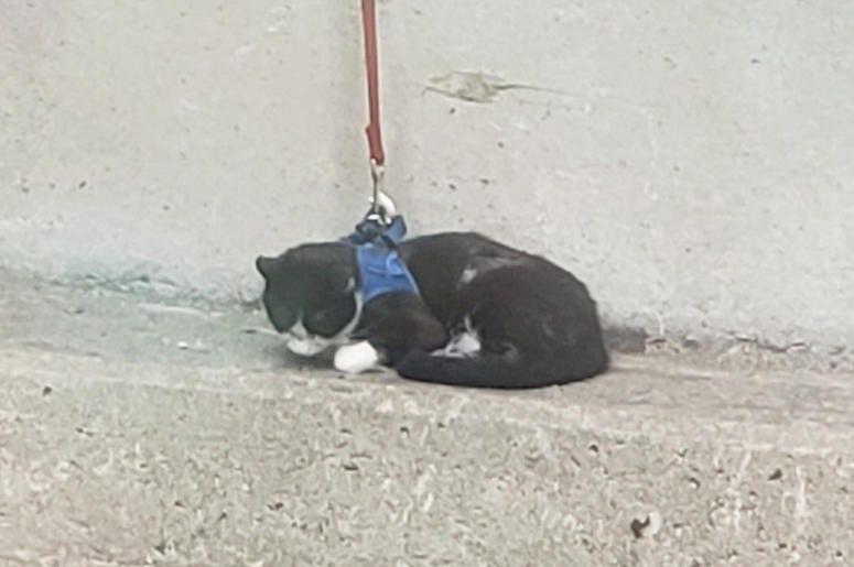 Bay Bridge Cat (Courtesy of San Francisco Animal Care and Control)