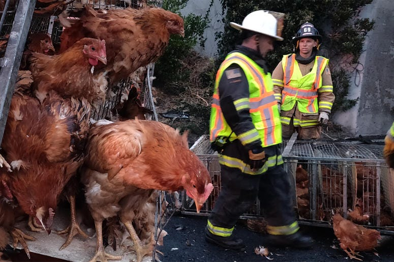 Caged chickens at San Pablo Dam Road Westbound I-80 truck wreck scene (Photo credit: KCBS Radio)