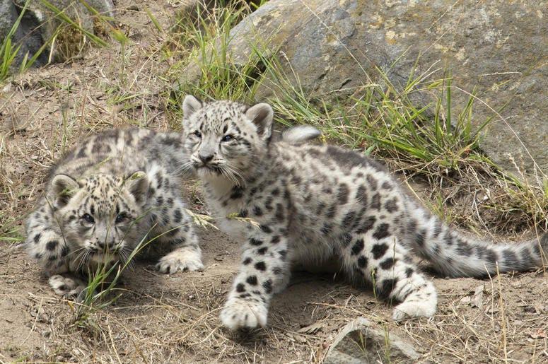 Snow Leopard Cubs (Photo credit: San Francisco Zoo)