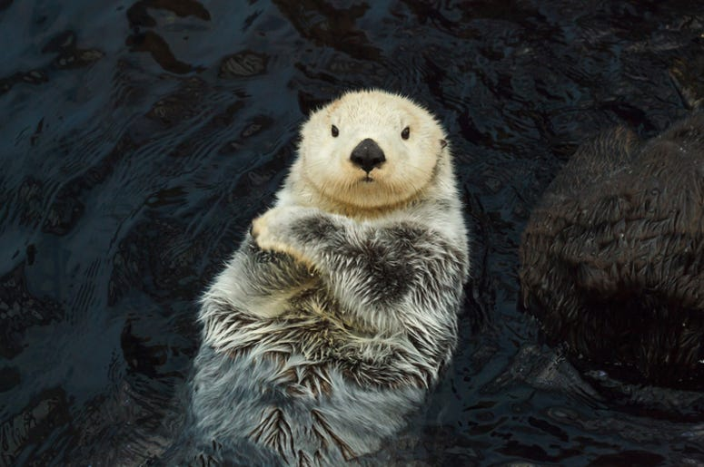 Watch This Live Stream Of Cute Sea Otters 100 7 The Wolf