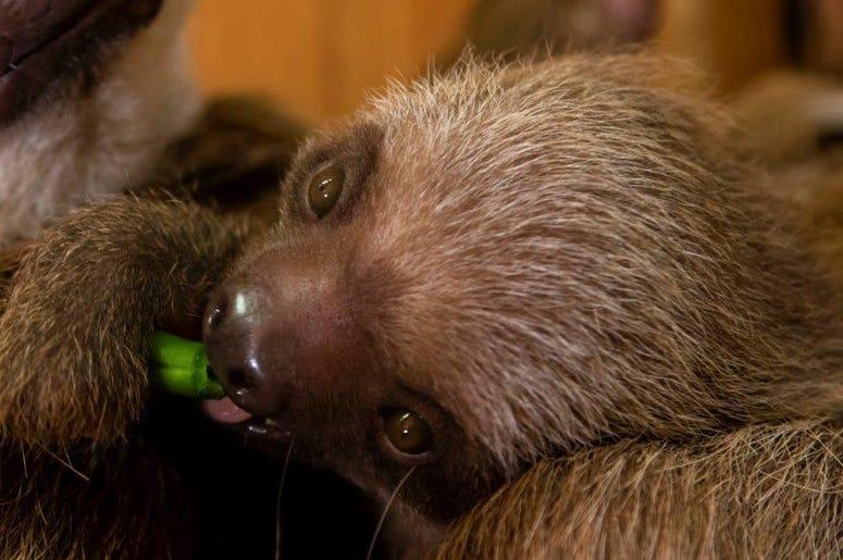 Zoo Atlanta Baby Sloth