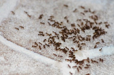 Group of ants on carpeting in house