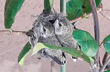 Joss' Mom's Hummingbirds