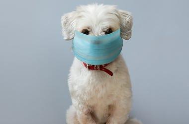 Small Masked Dog