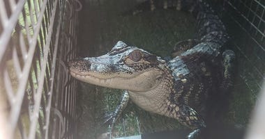 Alex the Alligator captured in Lake Lynwood